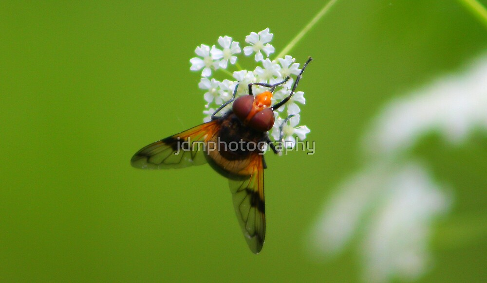 Hoverfly by jdmphotography