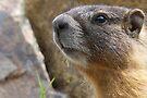 Marmot Up Close by Betsy  Seeton