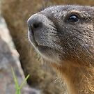 Marmot Up Close by Betsy  Seeton