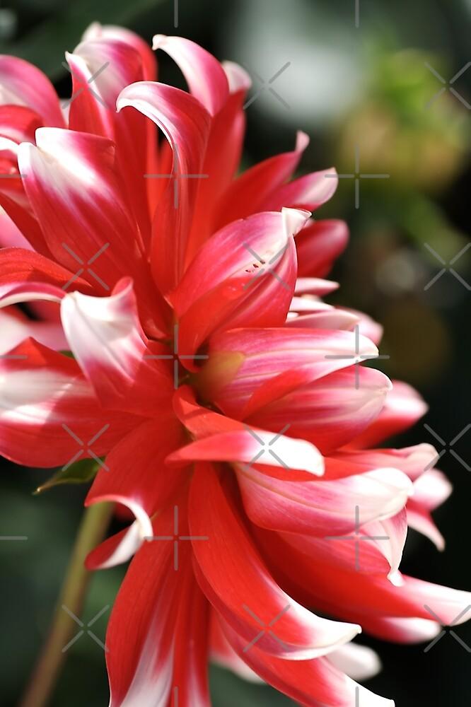 flower-dahlia by Joy Watson