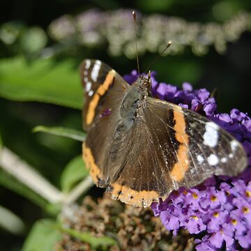 Red Admiral by Jdn1000