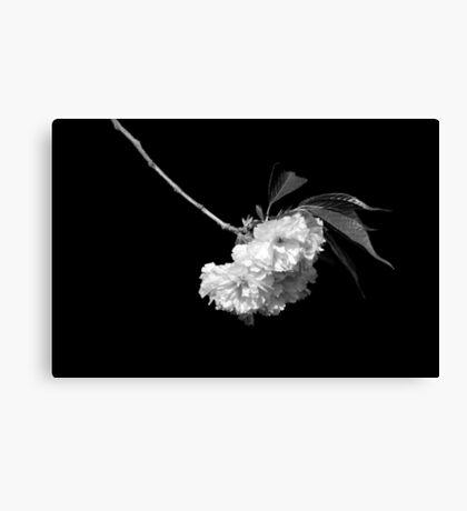 Japanese Cherry Tree Blooms Canvas Print