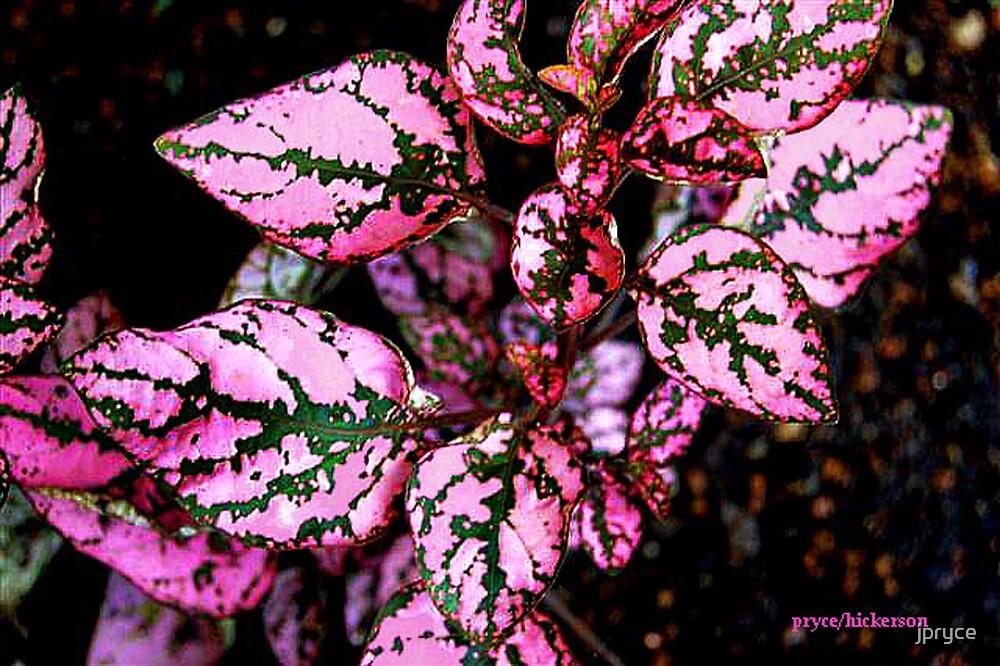 Polka Dot Plant by jpryce