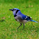 Blue Jay by Larry Trupp