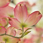 Flowering Dogwood by Barbara  Brown