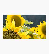Sunflowers 14 Photographic Print