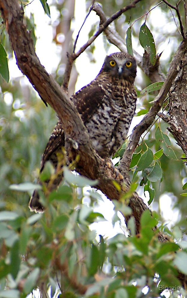 Female Powerful Owl by Biggzie