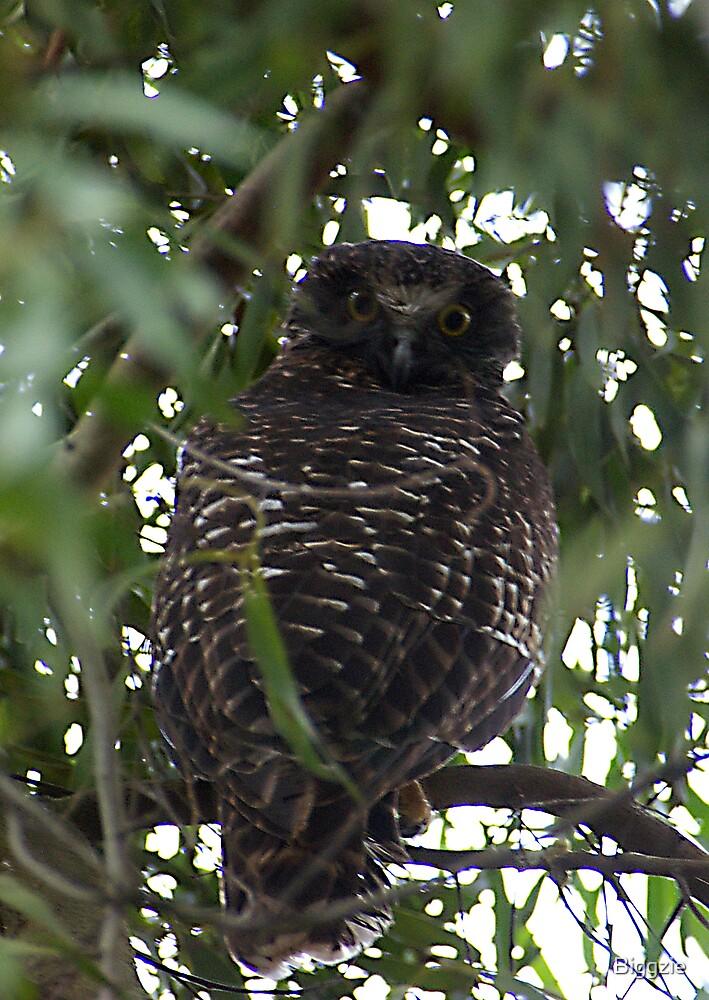 Male Powerful Owl by Biggzie