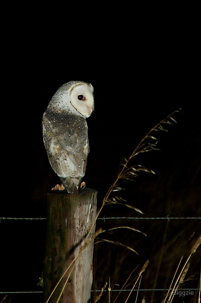 Barn Owl by Biggzie