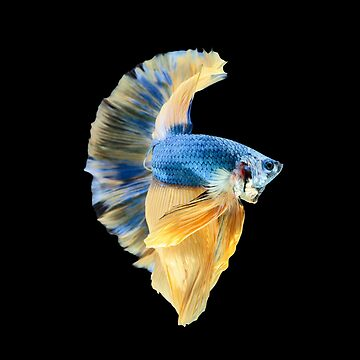 Blue yellow halfmoon betta splenden, siamese fighting fish by NessFlett