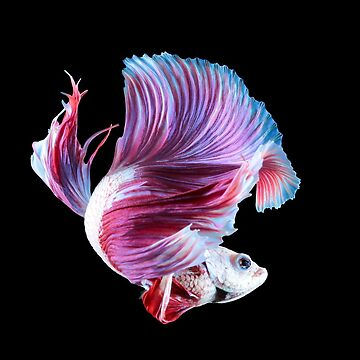 Multicolour pink betta splenden fighting fish by NessFlett
