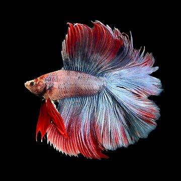 Double tail multicolour betta splenden fighting fish by NessFlett