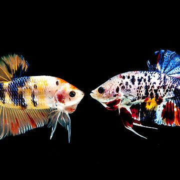Two marble plakat betta splenden fighting fish by NessFlett