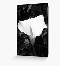 Arum Lily Greeting Card