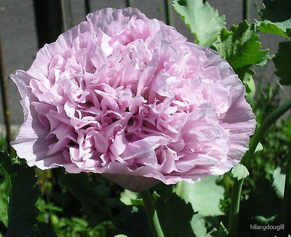 Opium Poppy by hilarydougill
