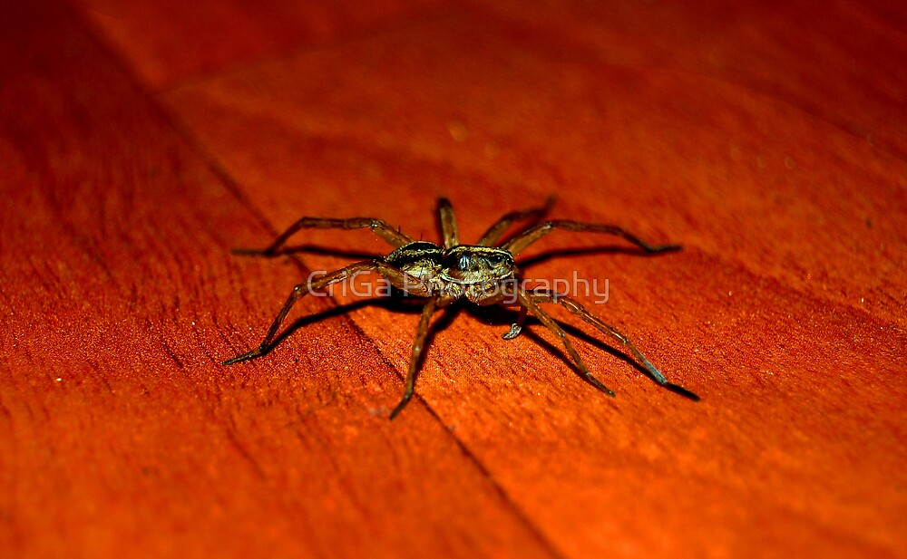 spider by CriGa Photography