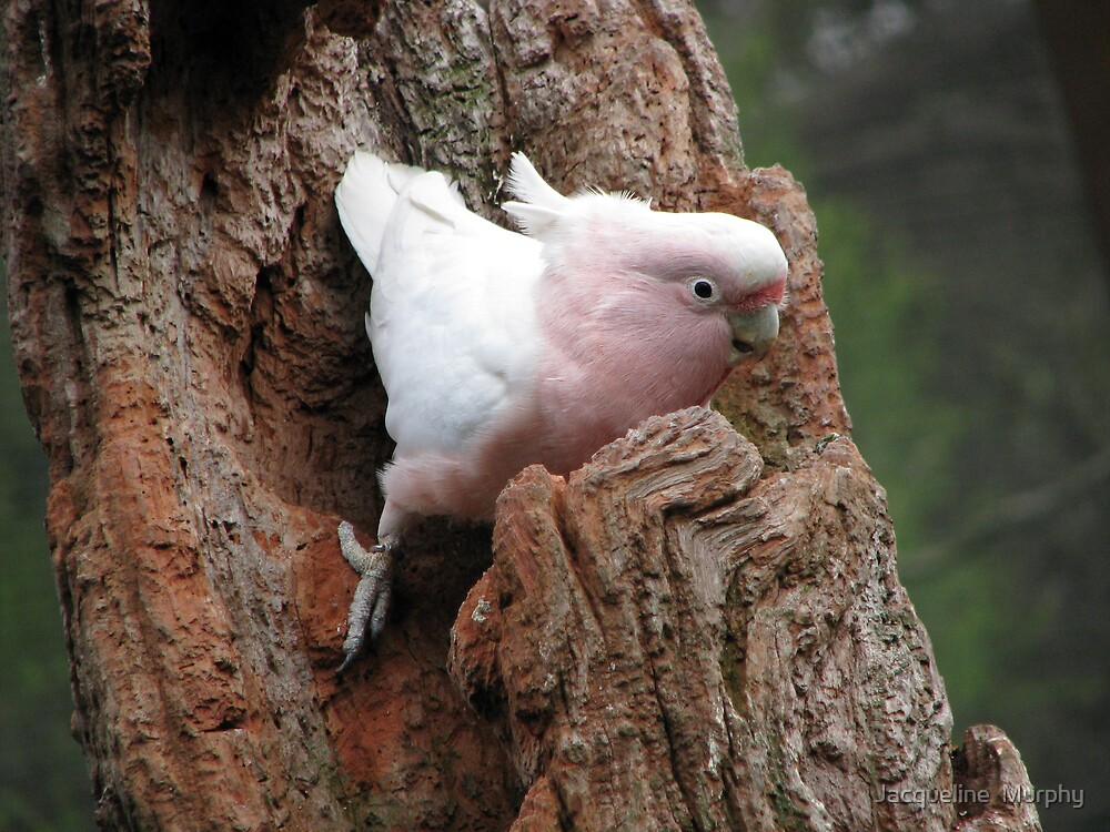 Major Mitchell's Cockatoo by Jacqueline  Murphy