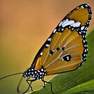 THE AFRICAN MONARCH - Danaus chrysippus aegyptius by Magriet Meintjes