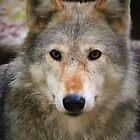 Grey wolf by StudioCorvid