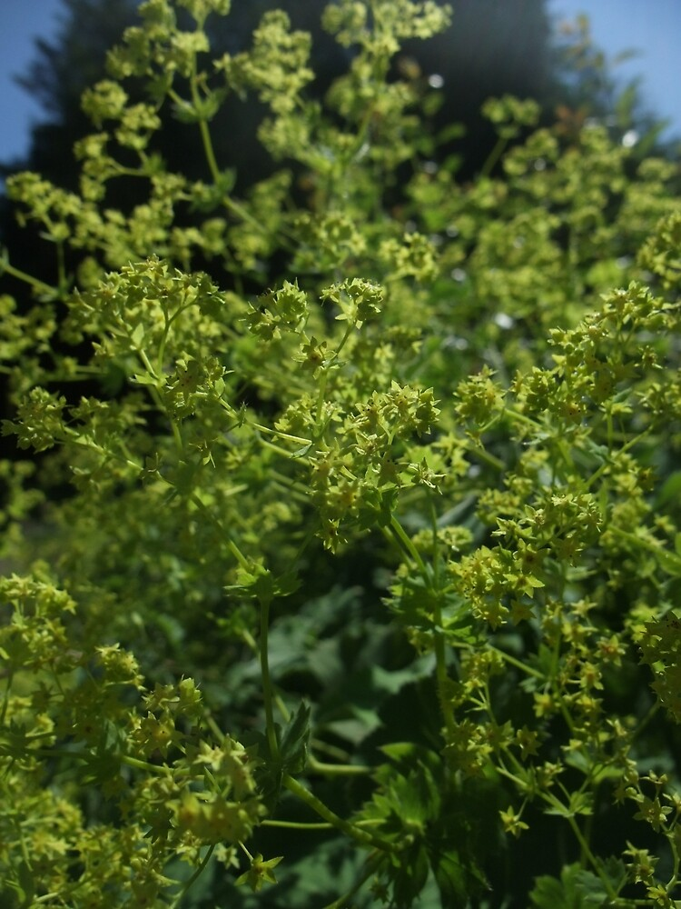 Common Lady's Mantle (Alchemilla vulgaris) by IOMWildFlowers