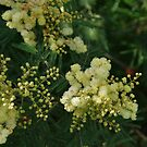 New Zealand Wattle (Acacia) by lezvee