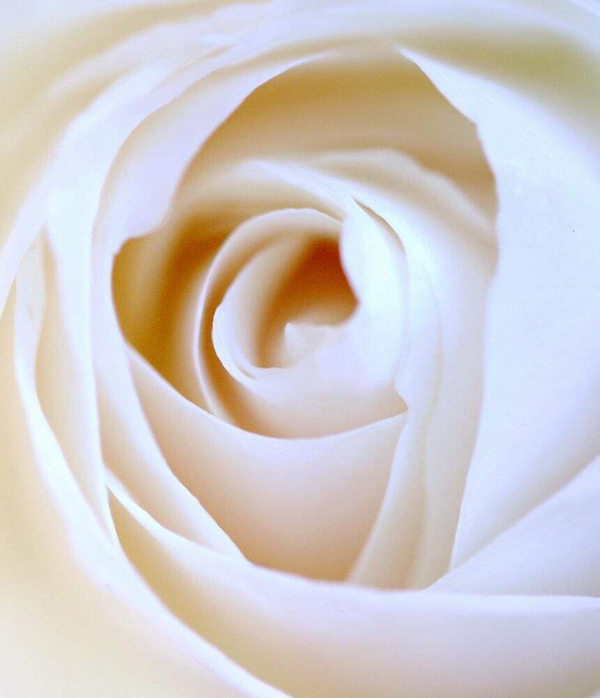 pure white rose by JulesVandermaat