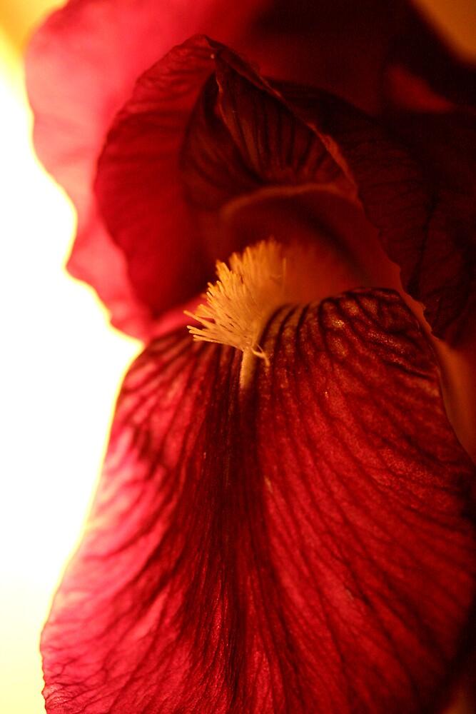 Bearded iris under lights by JulesVandermaat