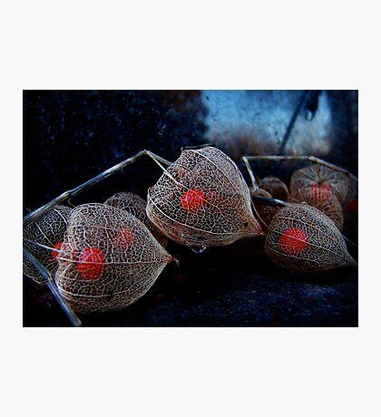 Hozuki [Chinese lantern plant]: Abergavenny, Wales, UK Photographic Print