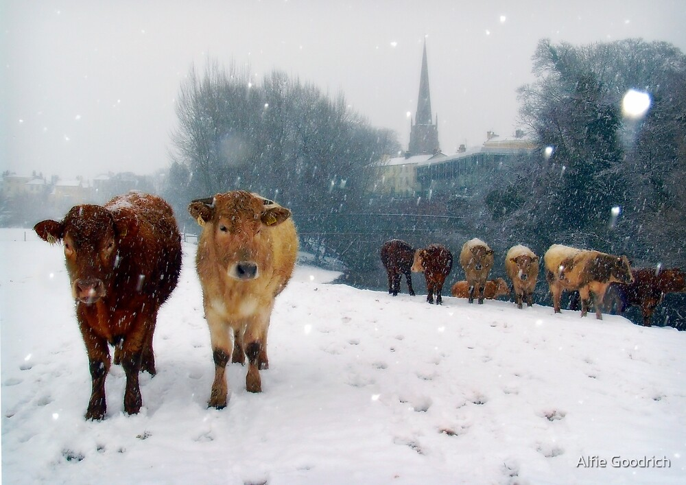 Cattle in the snow, Monmouth, Wales, UK. by Alfie Goodrich