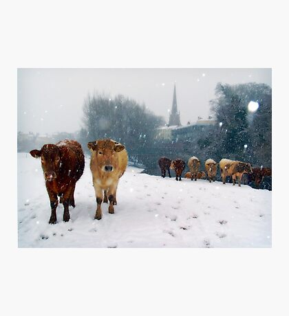 Cattle in the snow, Monmouth, Wales, UK. Photographic Print