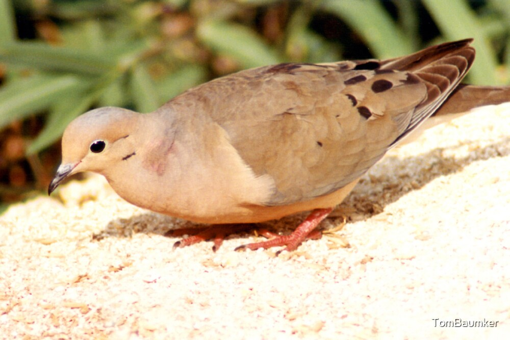 MOURNING DOVE by TomBaumker