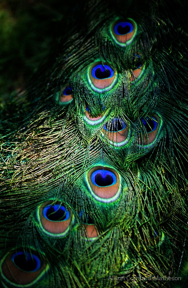 Peacock Tail by Alison Cornford-Matheson