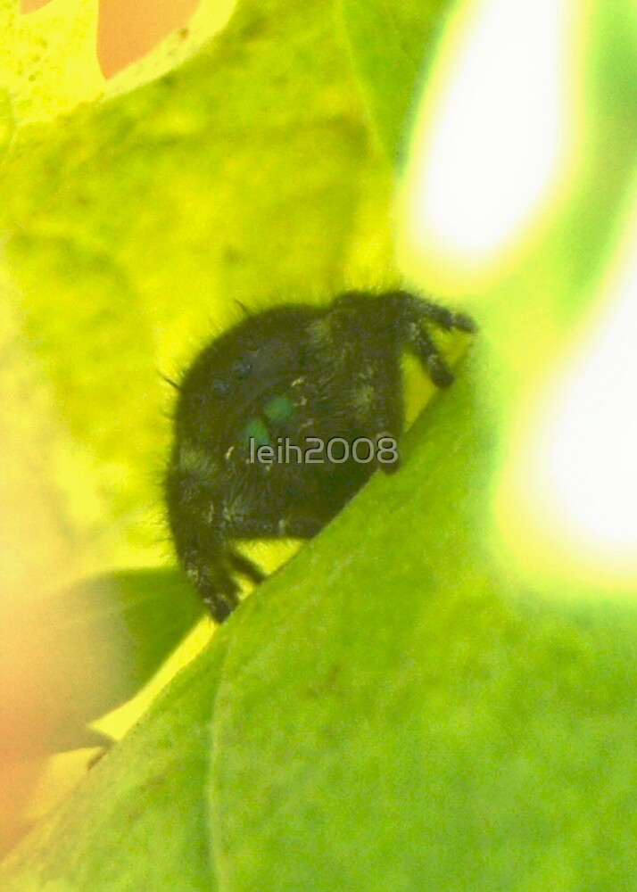 Male Regal Jumping Spider - relaxes in the shade of the grape leaves in my garden June 15, 2008 La Mirada, CA by leih2008