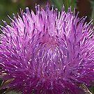 Wildflower by solareclips~Julie  Alexander