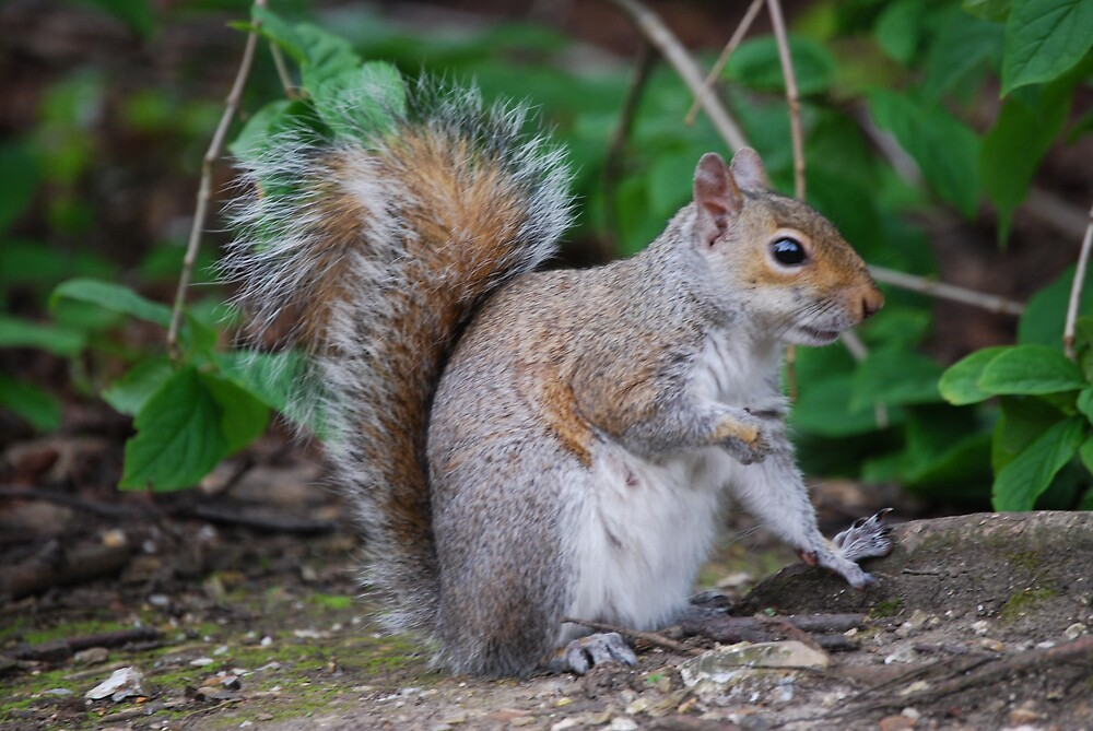 squirrell by ampwizbit