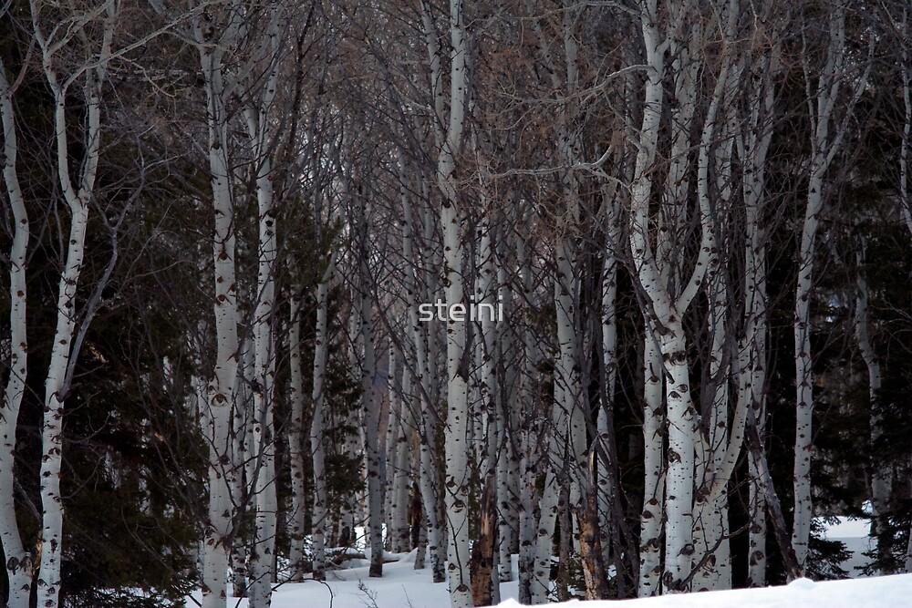 Aspen Grove in Winter by steini