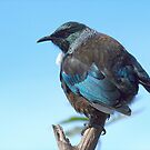 Tui.........who needs a tail to fly....?? by Roy  Massicks