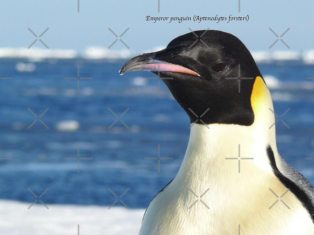 Emperor penguin (Aptenodytes forsteri) by DaleJacobsen