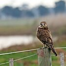 Brown Falcon (584) by Emmy Silvius
