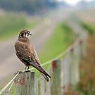 Brown Falcon (618) by Emmy Silvius