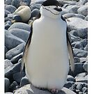 iPhone case featuring Chinstrap penguin (Pygoscelis antarcticus) by DaleJacobsen