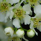 white lilac by gypsykatz