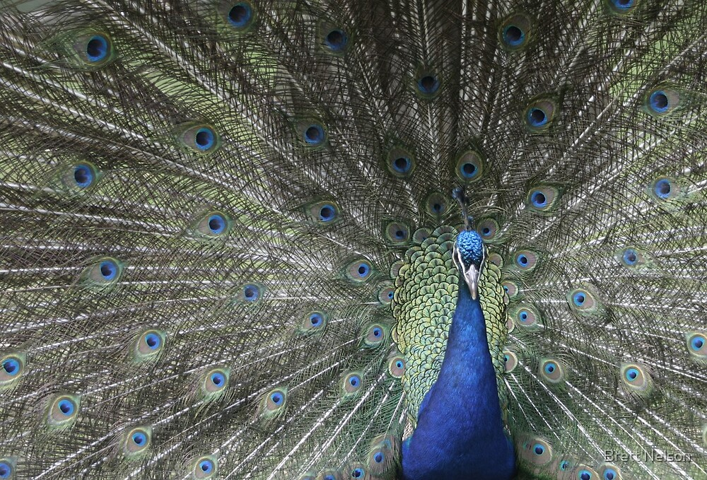 Proud is this Other Peacock by Brett Nelson