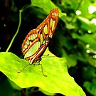 Malachite Butterfly 4 by Barnbk02