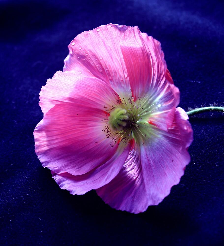 poppy love by JulesVandermaat
