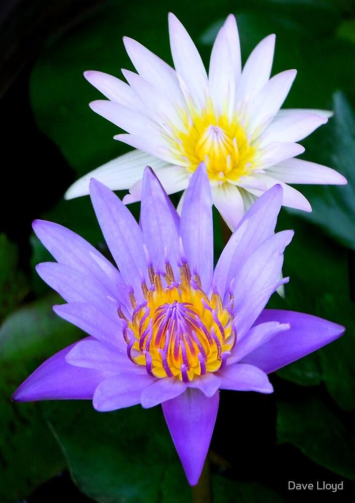 Lotus Flowers by Dave Lloyd