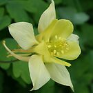Lemon Aquilegia by mousesuzy