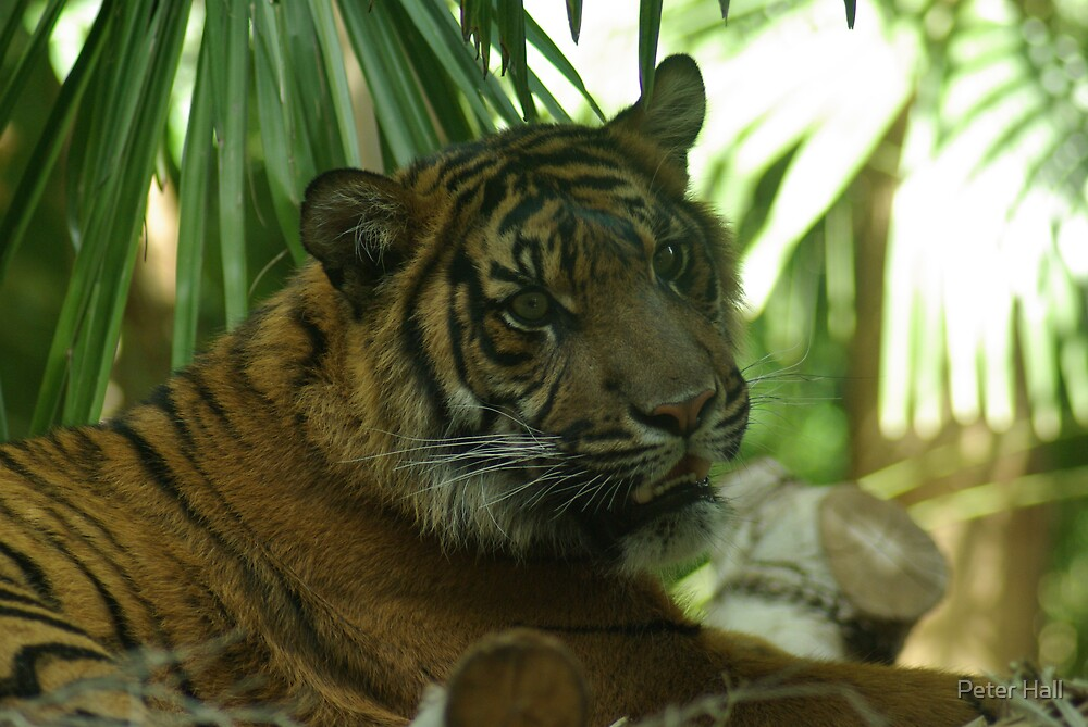 Tiger 4, Melbourne Zoo,  by Peter Hall
