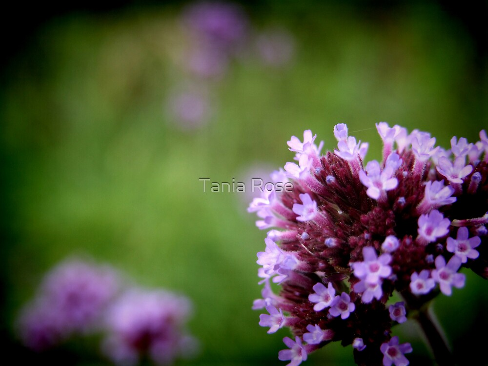 Roadside Purple by Tania Rose