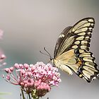 Giant Swallowtail 2017-1 by Thomas Young